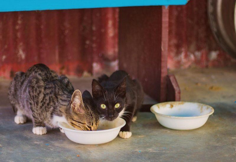 chats qui boivent de l'eau
