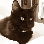 jeanne chat européen poil noir
